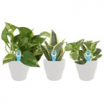 3-Count Costa Farms O2 for You House Plant Collection in 4″ Pots