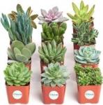 12-Pack 2″ Shop Succulents Unique Collection Live Mini Succulent Plants