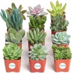 12-Pack 2″ Shop Succulents Unique Collection Live Mini Succulent Plants